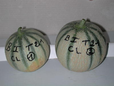 Melon gros plan