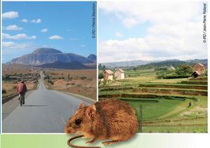 Rattus rattus Madagascar