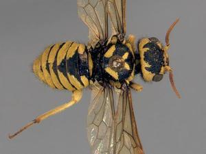 Megalodontes bucephalus, holotype