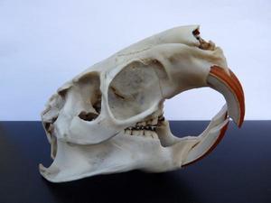 Myocastor coypus crâne 1