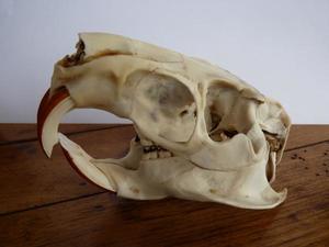 Myocastor coypus crâne 2