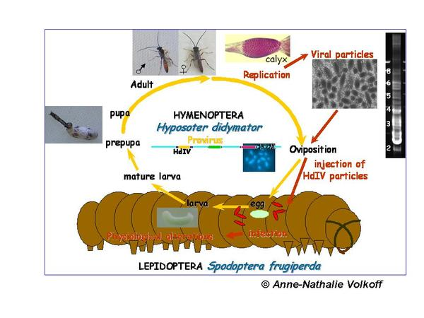 CycleHyposoter2