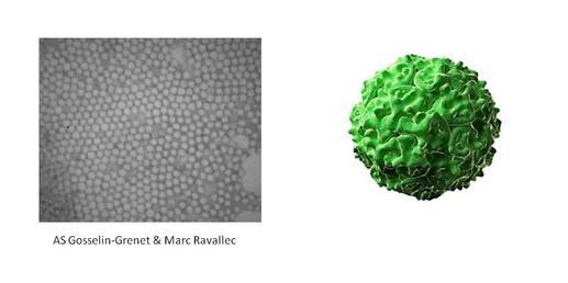 photos_densovirus