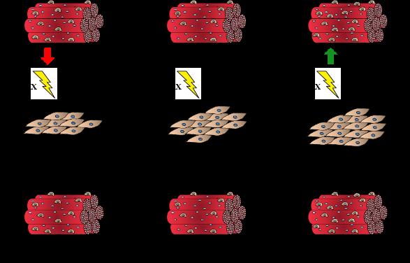 activité mithocondriale